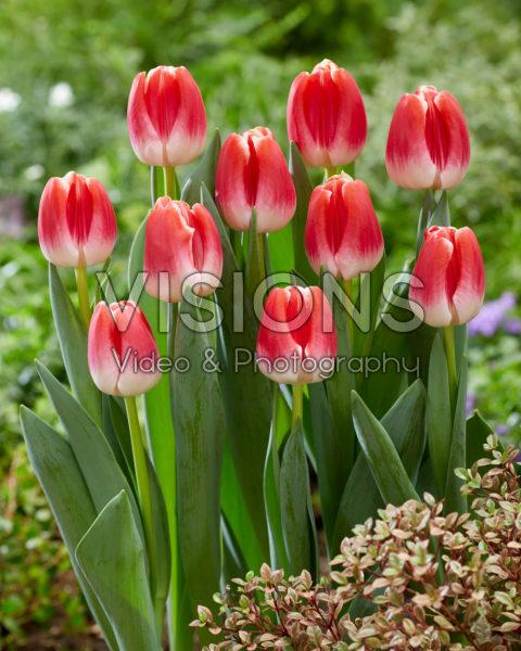 Tulipa With Love
