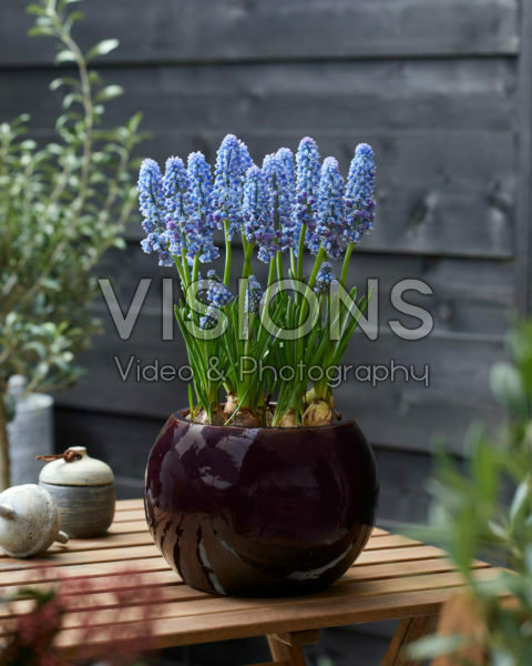 Muscari Flower Power