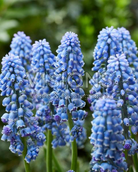 Muscari Flower Power