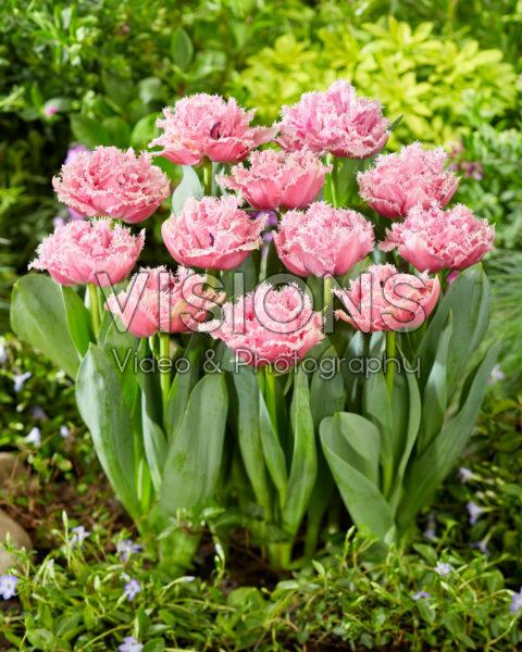 Tulipa Cairns