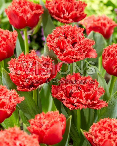 Tulipa Bendigo