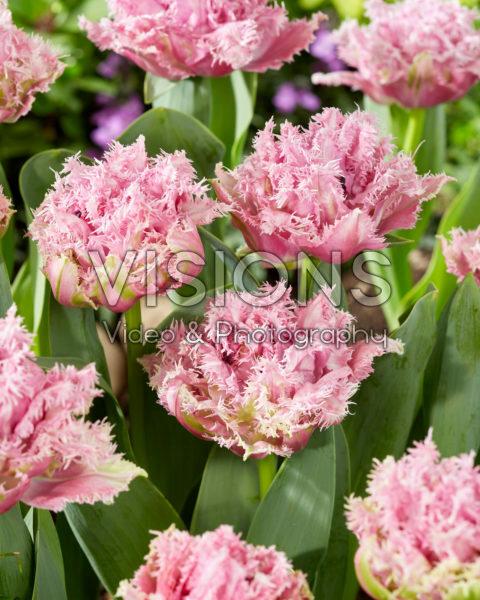 Tulipa Newcastle