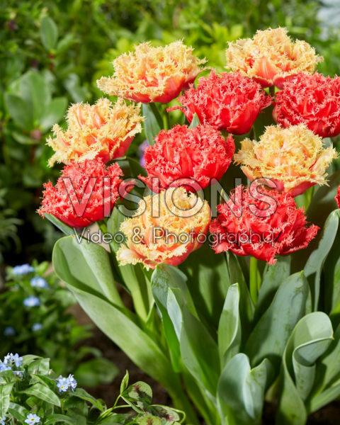 Tulipa Bendigo, Brisbane