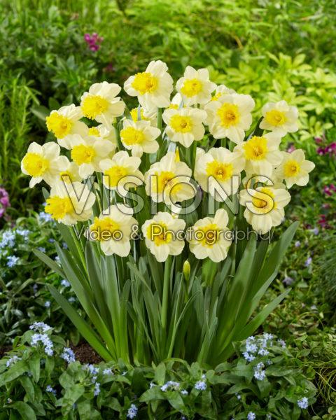 Narcissus Sugar Dipped