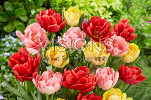 Tulipa Foxtrot Mix