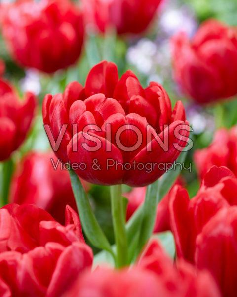 Tulipa Red Foxtrot