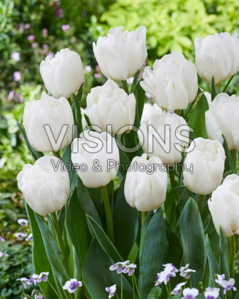 Tulipa White Foxtrot