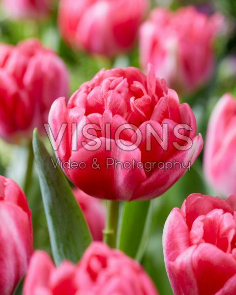 Tulipa Pink Foxtrot