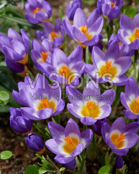 Crocus sieberi Tricolor