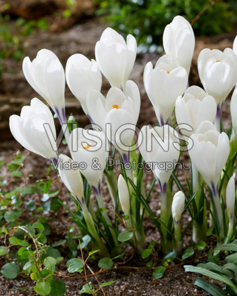 Crocus Ice Queen
