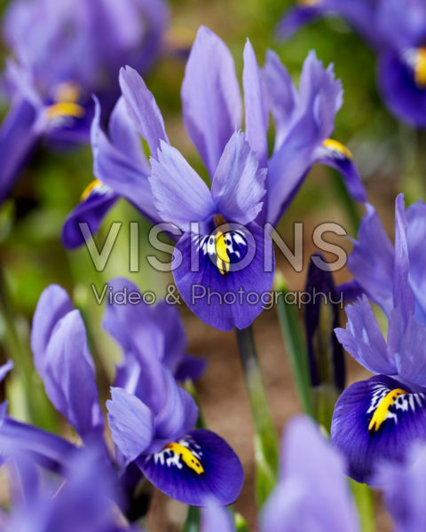 Iris reticulata Harmony