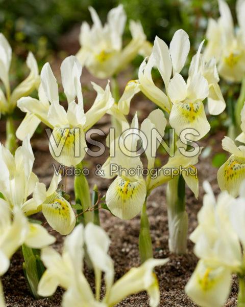 Iris Katharines Gold