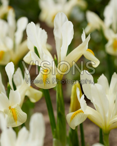 Iris CXW-12