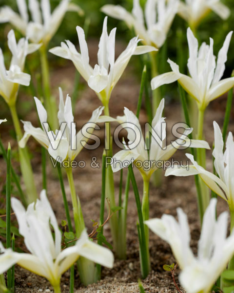 Iris reticulata Pauline White