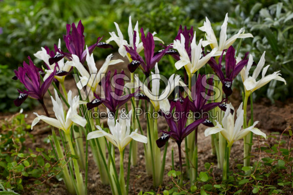 Iris reticulata Pauline en Pauline White