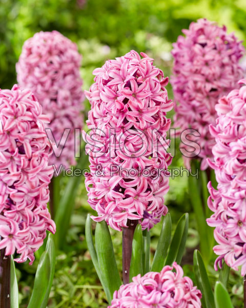Hyacinthus Richmond