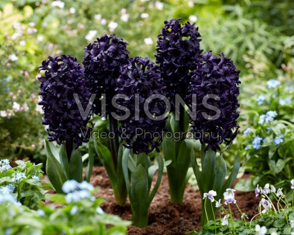 Hyacinthus Beretta