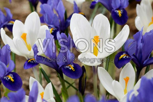 Crocus Ice Queen, Iris reticulata Harmony
