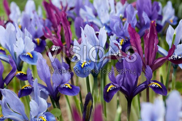 Iris reticulata mix