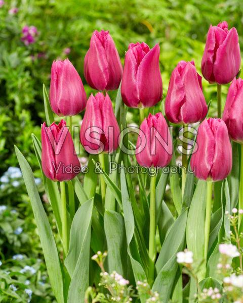 Tulipa Embrace