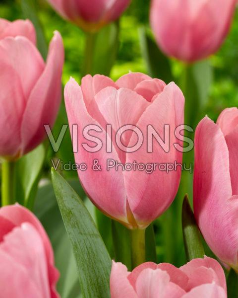 Tulipa Signum