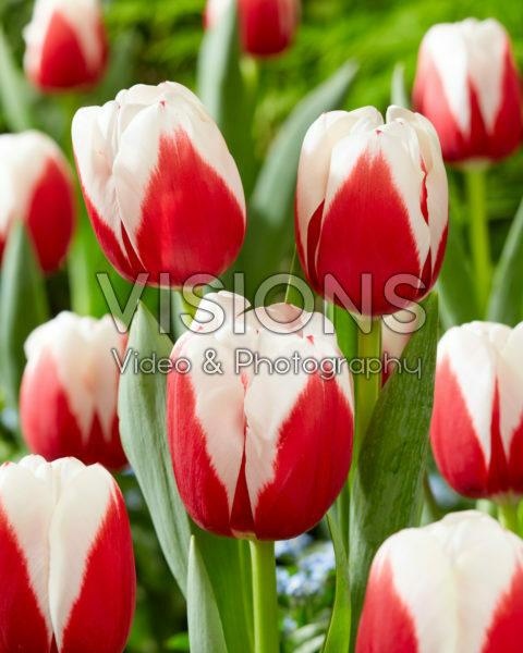 Tulipa Hema