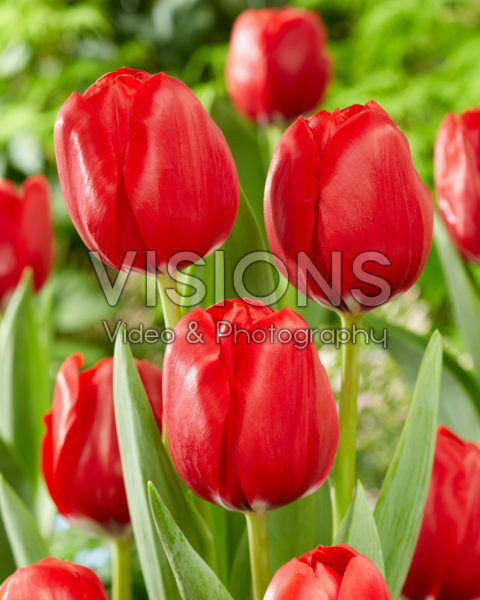 Tulipa Red Dragon