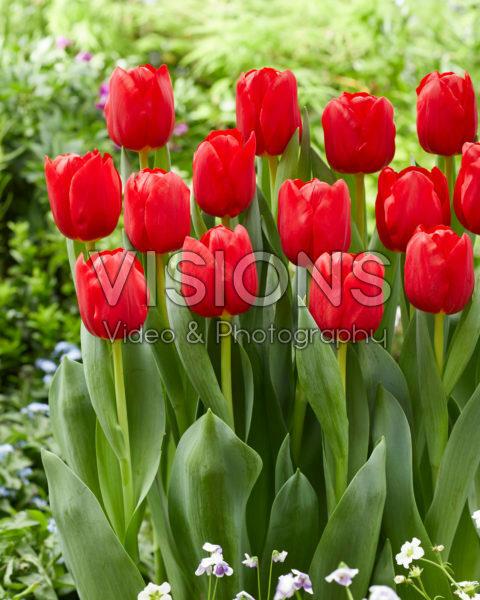 Tulipa Heartbreaker