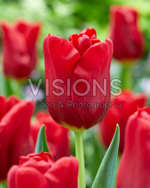 Tulipa Dynamo