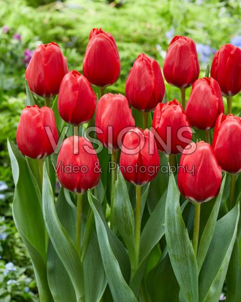 Tulipa Red Dragon