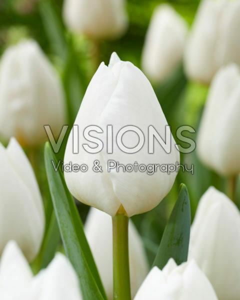 Tulipa Franciscus