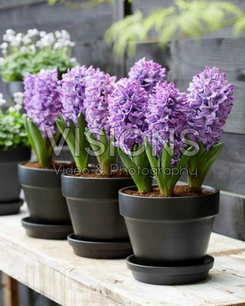 Hyacinthus Violetti Star
