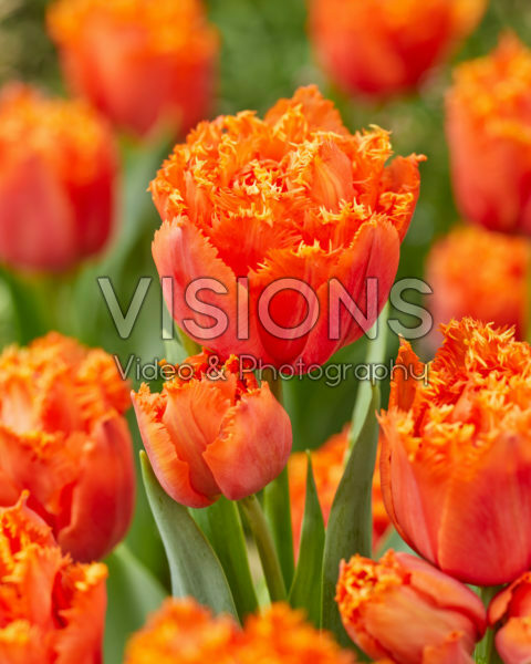 Tulipa Orange Passion