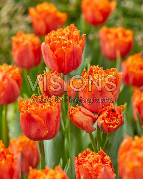 Tulipa Orange Passion