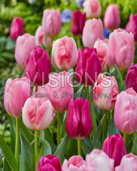 Tulipa Pink Triumph Mix