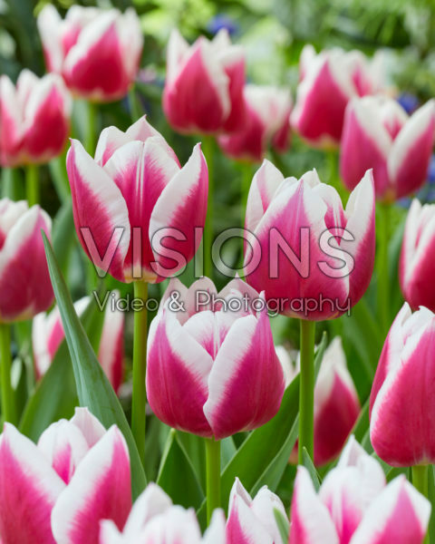 Tulipa Picardy