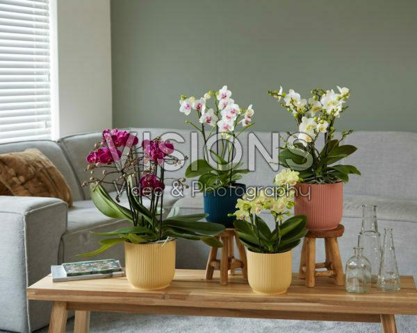 Phalaenopsis collectie