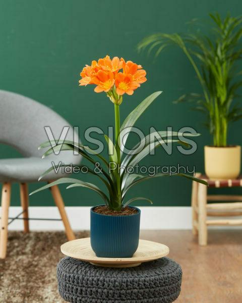 Clivia miniata