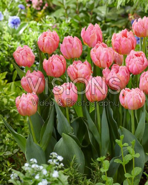 Tulipa Dotcom