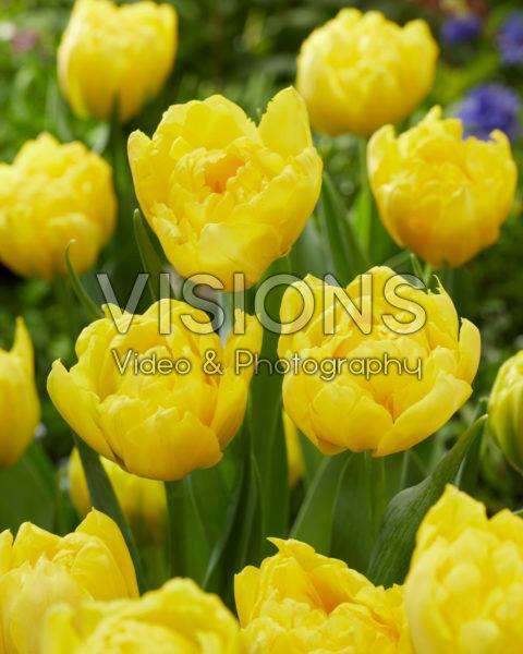 Tulipa Strong Carlo