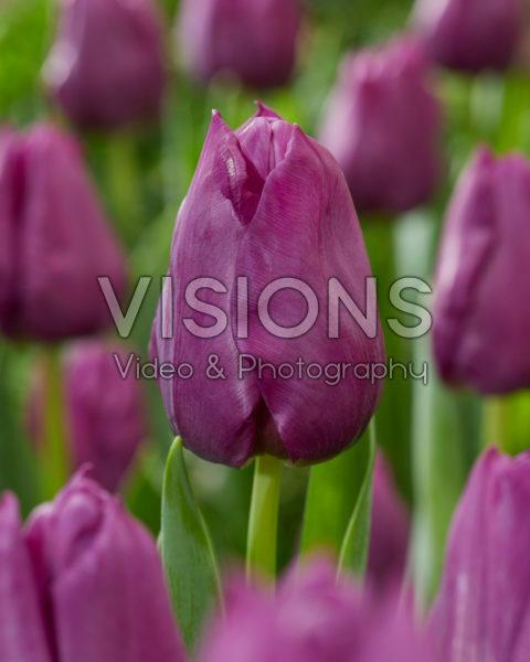 Tulipa Powerpoint