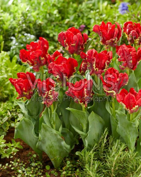Tulipa Seadov Parrot