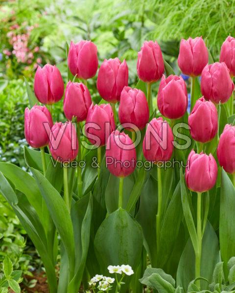 Tulipa Ivanka