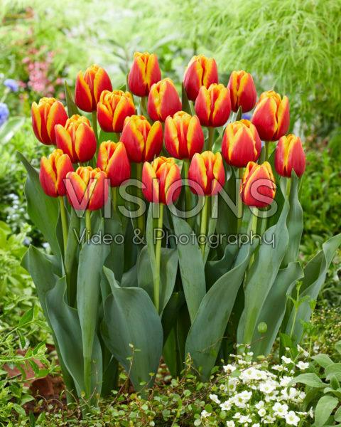 Tulipa Tropicana