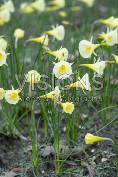 Narcissus Arctic Bells