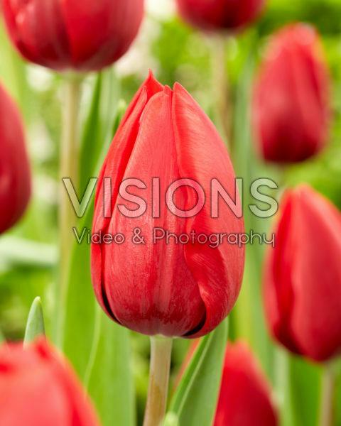 Tulipa Red Model