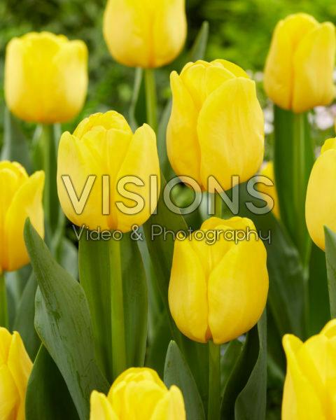 Tulipa Lobke