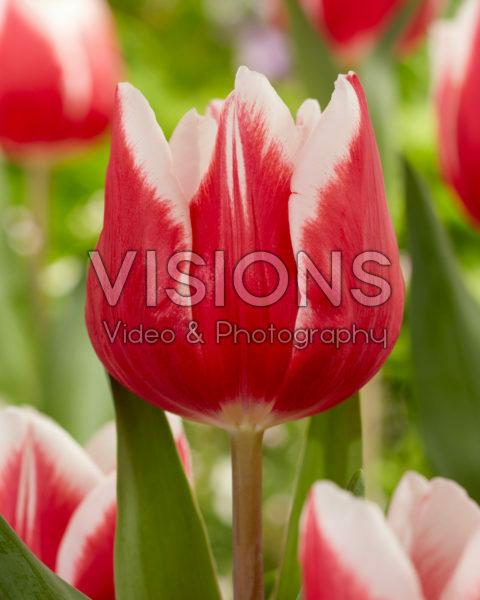 Tulipa Stargazer