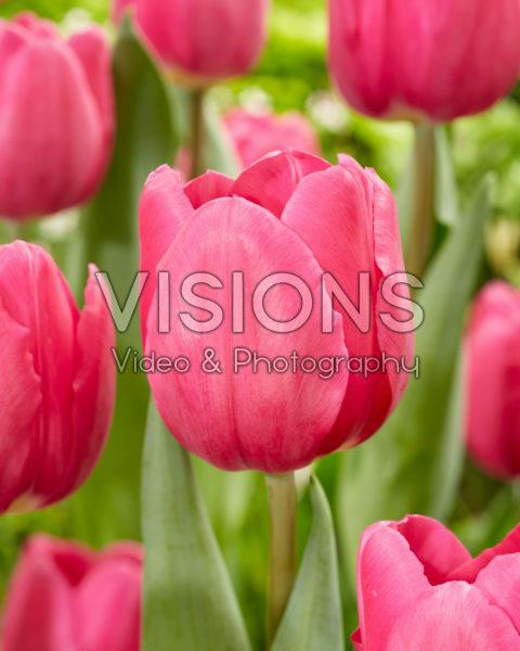 Tulipa Tai Chi