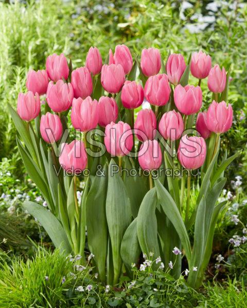 Tulipa Sweet Telle
